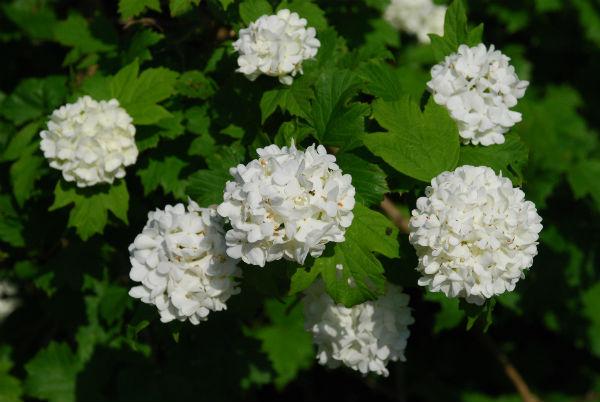 hvid blomst